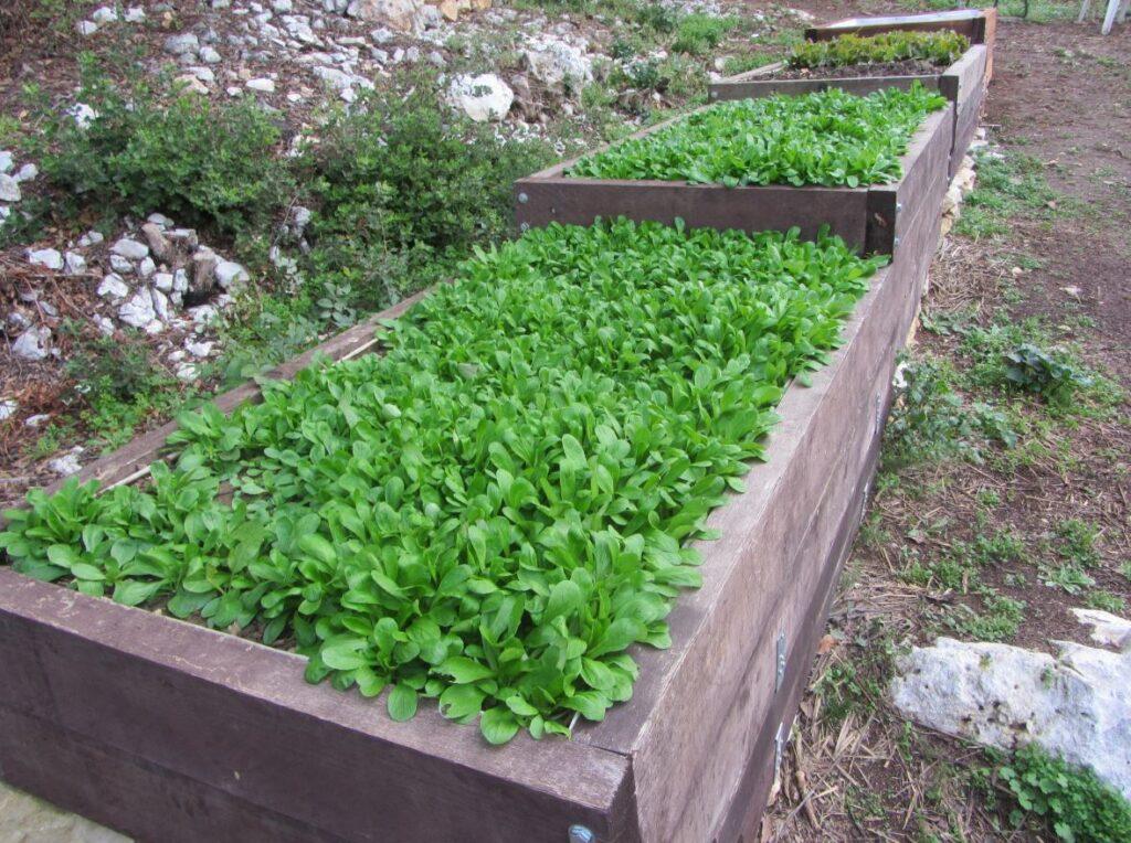 Salades mâche en bac